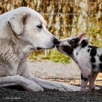 Rescued Piglet and Lily the Dog