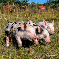 Rescued Piglets