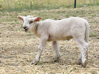 Welcome Baby Lamb Dash