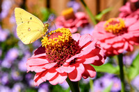 Cloudless Sulphur Butterfly on Pink Zinnias